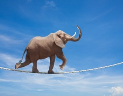 Elephant acrobat walking on the wire cord