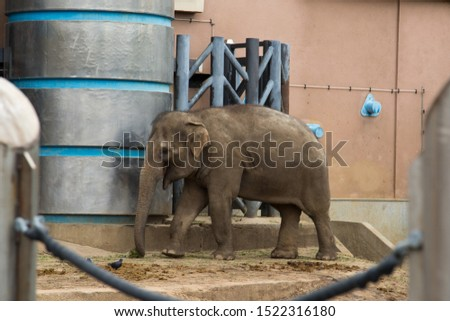 Elephant adult in the zoo on the background of metal fences. Wildlife, mammals, fauna.