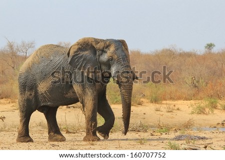 Elephant, African - Wildlife Background from Africa - The Real Giant from the Animal Kingdom.  An Endangered Species that leaves a massive impression.
