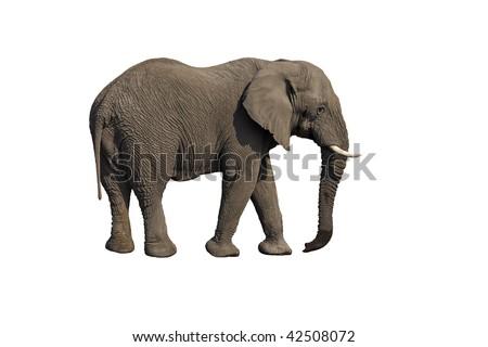 Elephant against a white background; Loxodonta Africana