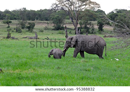 Elephant and calf in swamp, Ol Pejeta Conservancy