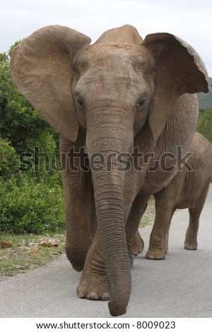 elephant and calf walking down the road