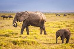 Elephant and elephant. Kenya. Safari in Africa. African elephant. Animals of Africa. Travel to Kenya. Family of elephants.
