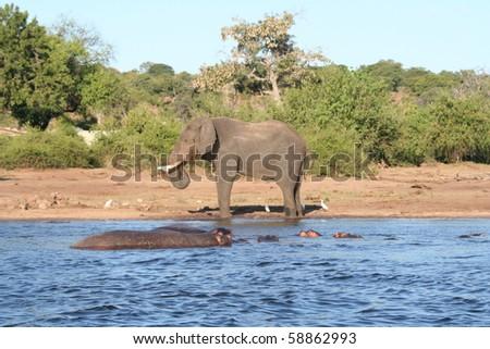 Elephant_and_Hippos _3 - stock photo