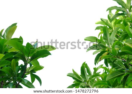 Elephant apple tree leaves with sun light on white isolated background for green foliage backdrop  #1478272796