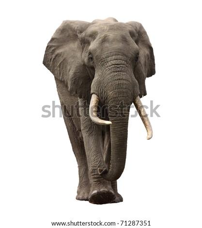 elephant approaching isolated - stock photo