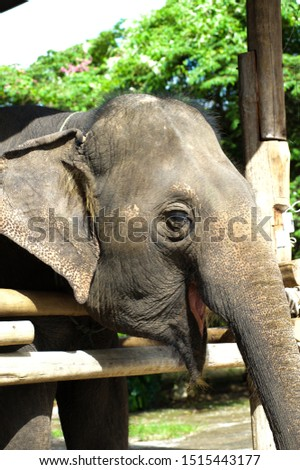 Elephant at Chiang Mai, Thailand, South-East Asia, Asia