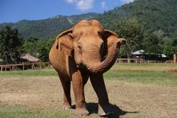 Elephant at Elephant Sanctuary Outside Chiang Mai, Thailand - Trunk Up Sideways