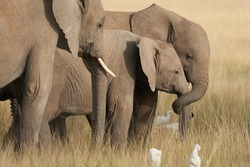 Elephant Baby Amboseli - Big Five Safari -Baby African bush elephant Loxodonta africana