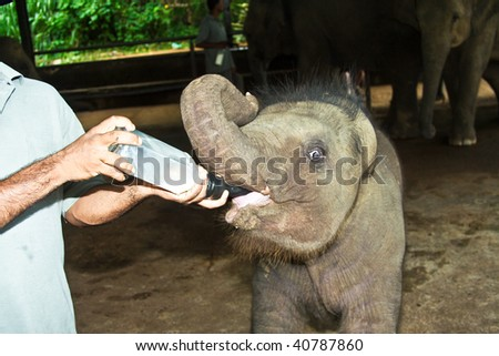 elephant babys get milk from a bottle