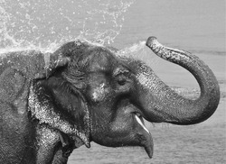 Elephant bath time , Asian elephant spraying water over its own head in black and white