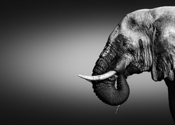 Elephant bull, Loxodonta africana, close-up portrait drinking water with its trunk in its mouth dripping water in black and white. Fine art.