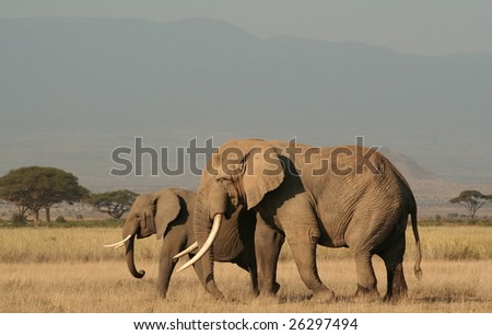 Elephant bull with adult female