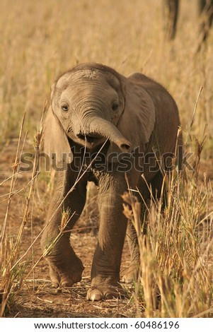 Elephant calf investigating his surroundings in African National Park