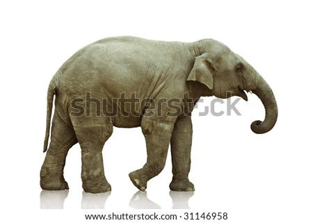 elephant calf over white  background photo