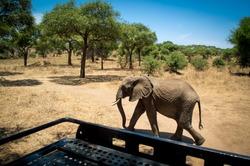 Elephant calf very close to a safari car in the savannah landscape of the Tarangire National Park, Manyara Region, Tanzania, East Africa. Acacia trees with grassland during dry season.