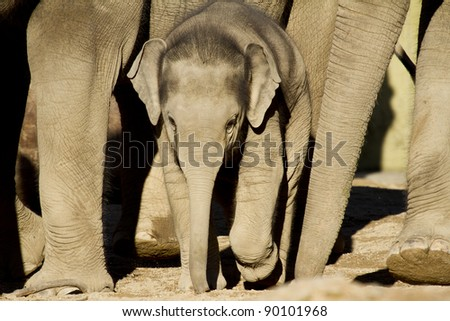 Elephant calf walking between its parents, frontal view