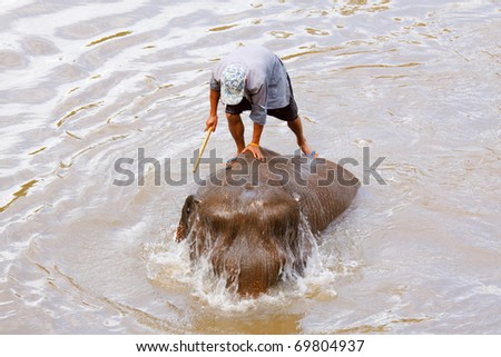 Elephant caretaker is bathing a small elephant calf