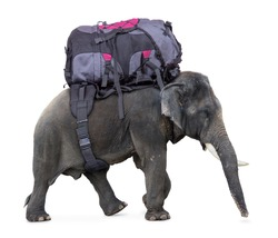 elephant carries a large backpack isolated on white background. Elephant makes luggage carriers for tourists. Elephant helps carry a heavy large backpack. Elephant travel service for tourist.