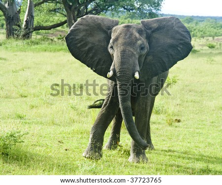 Elephant Charging in Green Grasslands