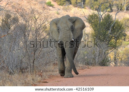 elephant chases the car,