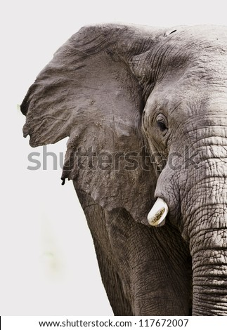 Elephant close up isolated on white