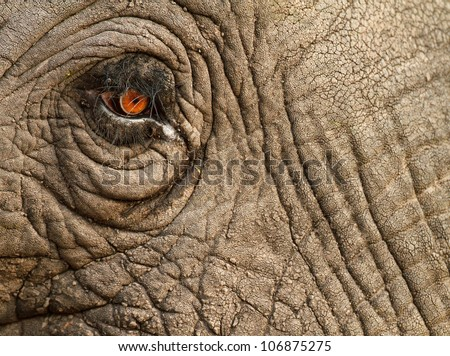 Elephant close up with beautiful orange eye and long lashes, South Africa