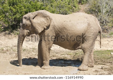 Elephant cooling-spray at Addo elephant national park, eastern cape, South Africa