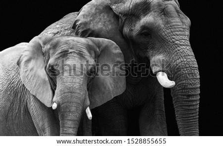 elephant couple isolated on black background Stock fotó ©