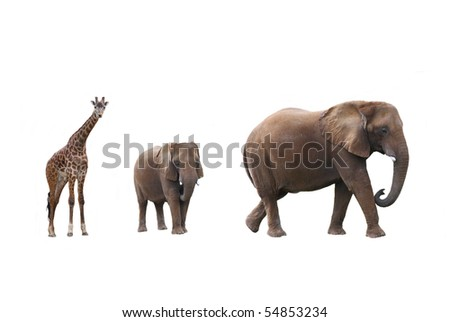 Elephant cow with baby elephant and giraffes on white background