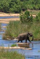 Elephant crossing a river in Kruger park