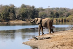 Elephant drinking water at Lake Panic with a crocodile and hippopotamuses nearby