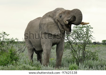 elephant drinking water from pool - stock photo