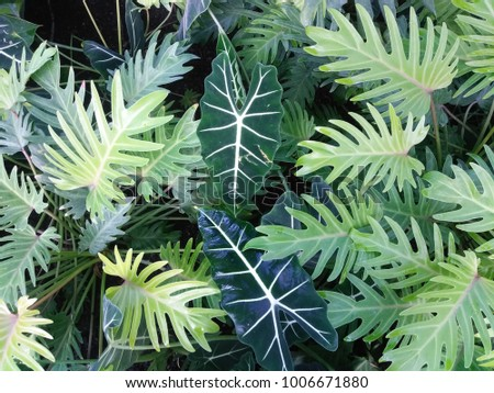 Elephant Ear (Alocasia 'Frydek') hybrid and Golden Xanadu Philodendron (Philodendron xanadu 'Golden'), both members of the Araceae family. Impressive, brightly colored leaves complement each other. #1006671880