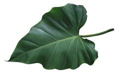 Elephant ear, Cocoyam, Dasheen, Eddoe, Japanese taro, Taro, Colocasia esculenta (L.) Schott, Beautiful single green leaf with stalk of Cocoyam tree isolated on white background.