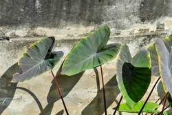 Elephant Ear leaves with dirty cement wall at King rama 9 park in Bangkok Thailand