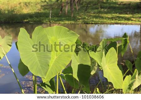 Elephant ear plant with heart shape. #101038606