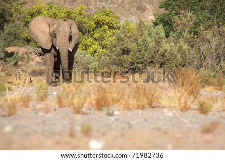 Elephant eating in a river bed in the Skeleton Coast Desert, Namibia