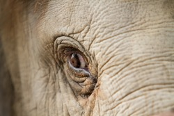 Elephant eye detail