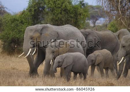 Elephant family, Amboseli National Park, Kenya