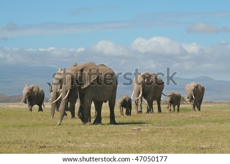 Elephant family being led by the matriarch in East African National Park - stock photo