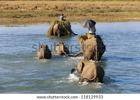 elephant family cross the river in national park, Nepal