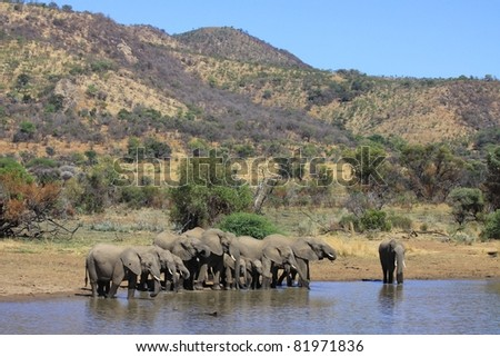 Elephant family drinking together at a waterhole in an African National Park