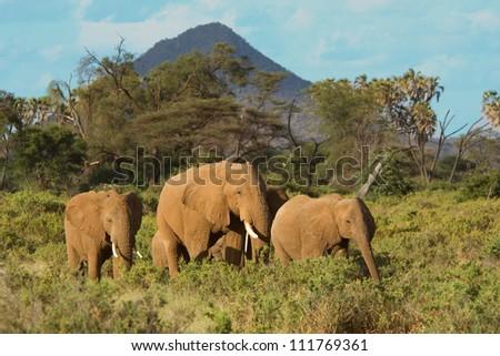 Elephant family (Loxodonta africana) in the Samburu National Park (Kenya)