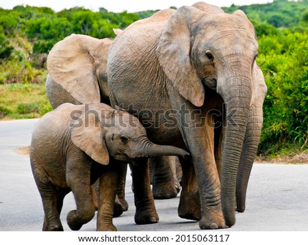Elephant family walking at Addo Elephant Park, Eastern Cape, South Africa Stock photo ©