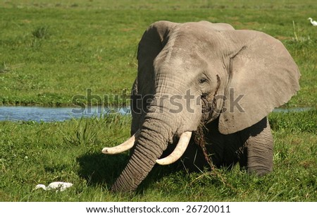 Elephant feeding in a swamp, Kenya