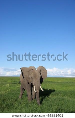 Elephant feeding in the grassland Savanna - stock photo