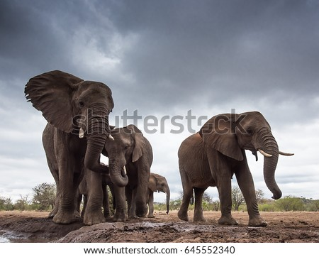 Elephant Gathering. A small group of elephants gather at a waterhole on a summer's day under threatening skies.