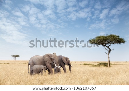 Elephant group in the red-oat grass of the Masai Mara. Two adult females are feeding calves in open expanse of grassland with acacia trees.