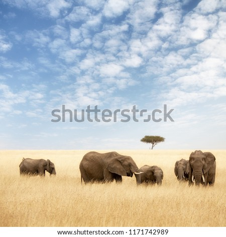 Elephant group in the red-oat grass of the Masai Mara. Two adult females with calves calves in open expanse of grassland with acacia trees.